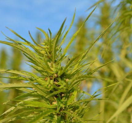 Nutzhanf – alte Kulturpflanze, viele Möglichkeiten