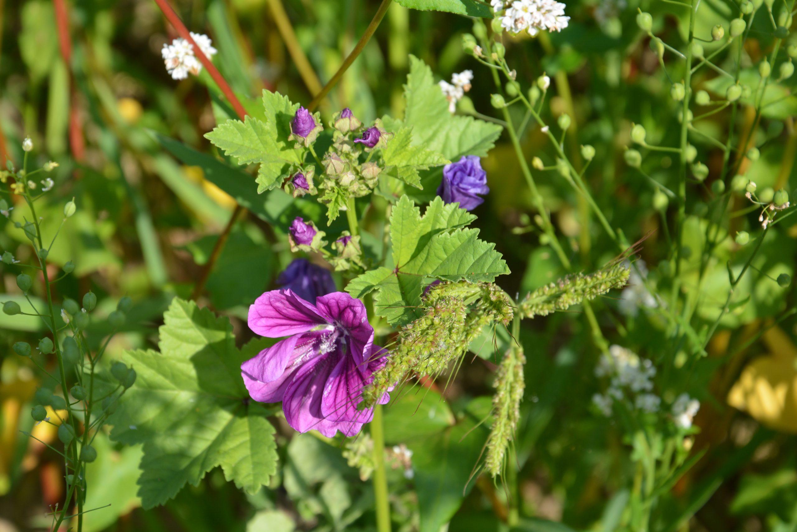 Anbau von Wildpflanzenkulturen zur Biomasseproduktion honorieren!